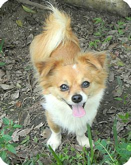 cuts for chihuahua papillon mix metairie la papillon meet beethoven adoption pending a