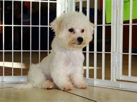 bichon frise puppies dogs for sale in virginia beach