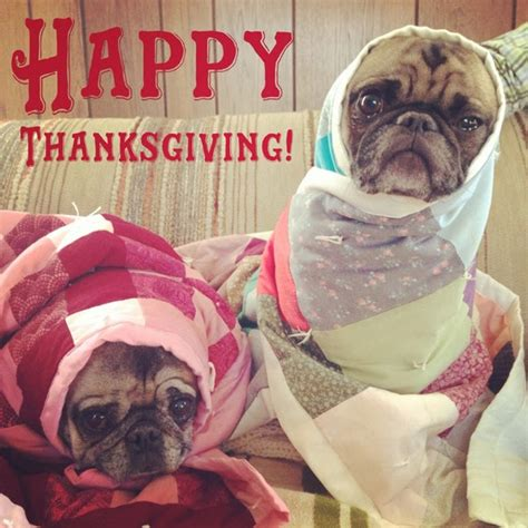 happy thanksgiving pug ljcfyi happy thanksgiving