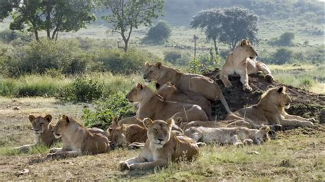 imagenes animales salvajes africa animales salvajes tigres leones y mas imagenes africa