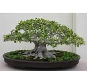 Chinese Banyan Ficus Microcarpa Retusa 3508747925