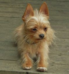 short haired dorkie mixes yorkie and chihuahua mix 1000 images about chihuahua yorkie cross on pinterest