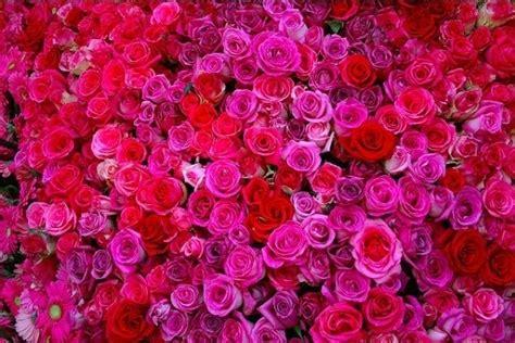 significato colore fiori significato colore rosa significato fiori colore rosa