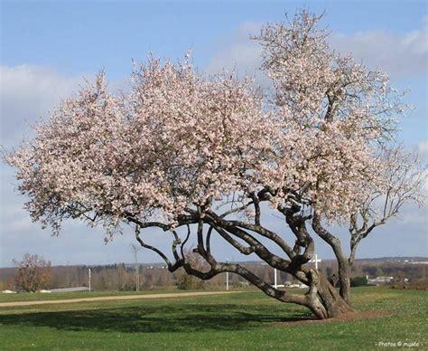 alberi da giardino fioriti alberi in fiore piante da giardino conoscere gli