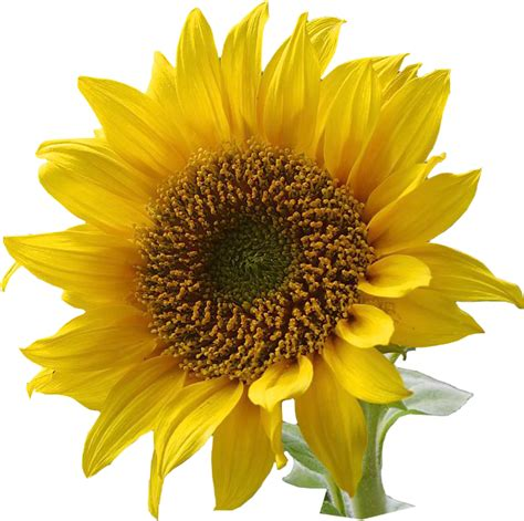 printable sunflower images free sunflower graphics png jpg