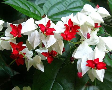 Tanaman Merambat Nona Makan Sirih Clerodendrum Thomsoniae cara merawat dan membudidayakan bunga nona makan sirih asal afrika alam pedia