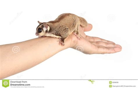 Sugar Glider Series sugar glider on white royalty free stock photos image 8268638