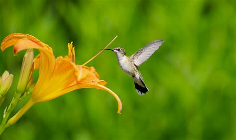 3 plants that attract hummingbirds ritter lumber