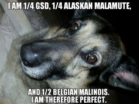 belgium malamute puppy 25 b 228 sta belgian malamute id 233 erna p 229 vallhund