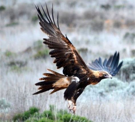 tattoo wedge tail eagle 17 best images about wedge tailed eagle on pinterest
