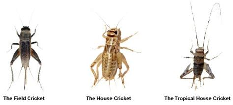 crickets in house meaning crickets are a common insect in the phoenix valley arizona is home to three abundant