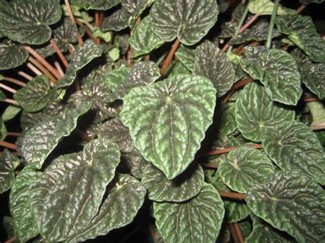 malattie piante appartamento peperomia piante da interno coltivare peperomia