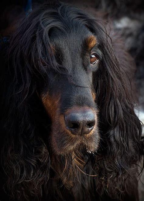 gordon setter dog names gordon setter i had one so handsome good dog bad