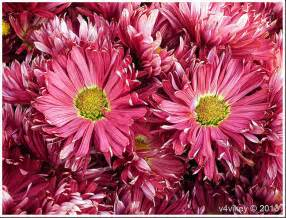 chrysanthemum colors magenta color chrysanthemum flowers wallpaper tadka