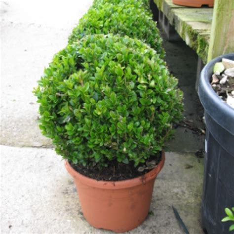cheap topiaries buy cheap buxus sold cheap topiary