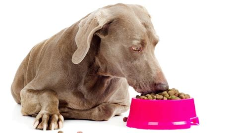 best treats for puppies best food for weimaraner 9 vet recommended brands