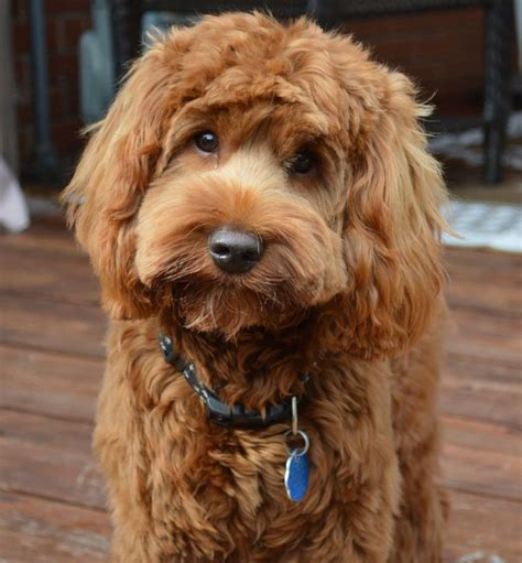 best puppy food for labradoodles 25 best ideas about labradoodle puppies on baby dogs labradoodles