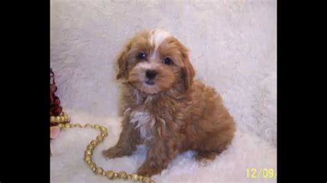 apricot maltipoo puppies for sale apricot maltipoo puppies for sale