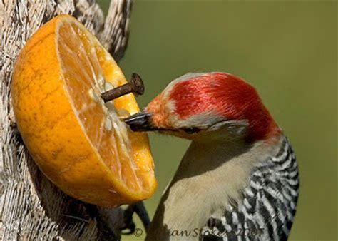 birding is fun red bellied woodpecker the orange juice