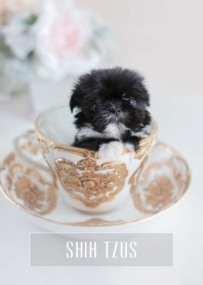 imperial shih tzu puppies for sale in houston tx teacup puppies for sale teacups puppies and boutique