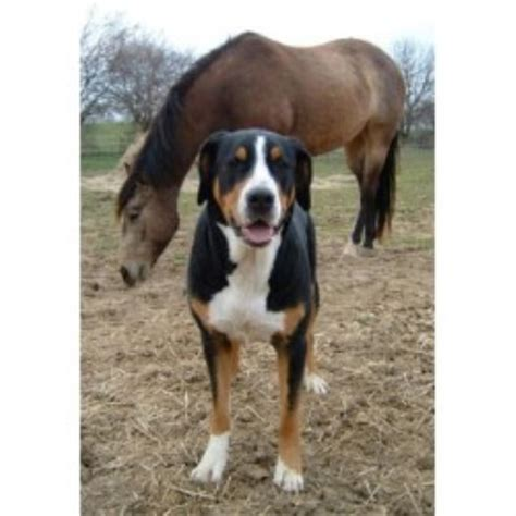 greater swiss mountain rescue cherished swissies greater swiss mountain breeder in waynesville ohio listing