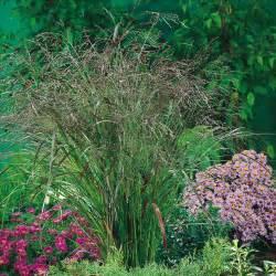 Foliage Plant Care - panicum virgatum warrior grasses amp bamboo by variety perennial plants