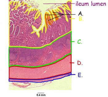 Transverse Section Of Small Intestine by Digestion And Absorption