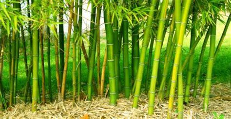 giardino bambu 5 motivi per non piantare bamb 249 nel vostro giardino greenme