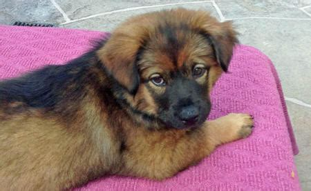 german shepherd chow mix puppy dj the chow chow mix puppies daily puppy