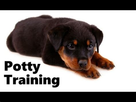 how to house a rottweiler puppy how to potty a rottweiler puppy rottweiler house housebreaking