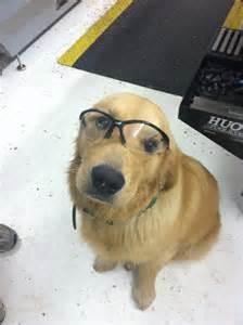 golden retriever wearing glasses golden retriever wearing safety glasses animals