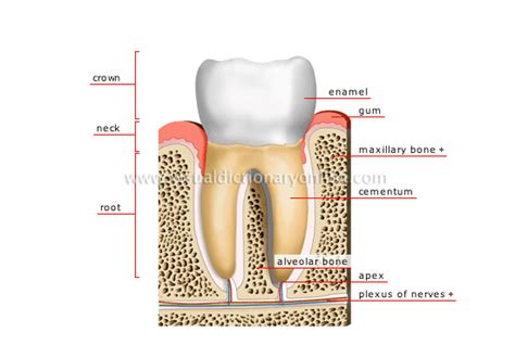 cross section of tooth image gallery molar