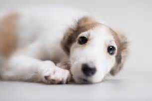 borzoi puppies dog breed information dog photos doglers