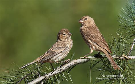 house finch images house finch wallpaper 402383