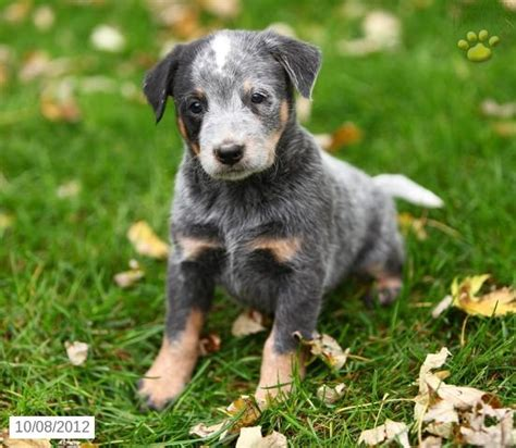 blue heeler puppies for sale indiana 1000 images about blue heelers on puppys so and best dogs