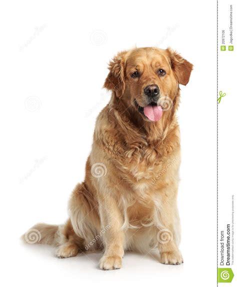golden retriever white background golden retriever on white background royalty free stock image image 20972106