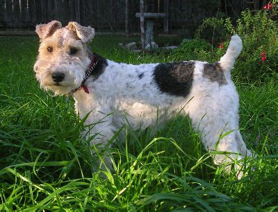 wire fox terrier puppies for sale wire fox terrier breeders wire fox terrier puppies for sale wire fox terrier