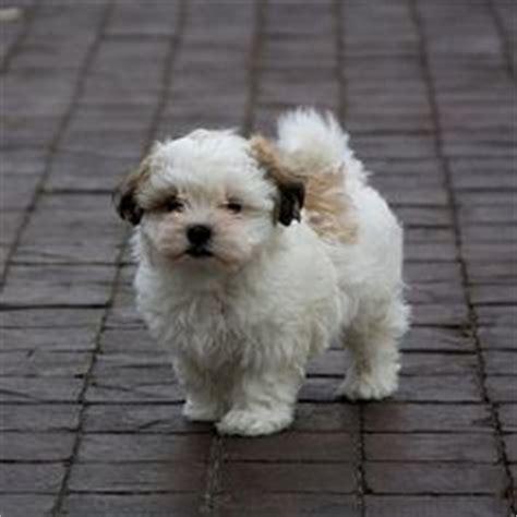 jillybean shih tzu shih tzu maltese malshi 11 mixed breed dogs that will melt your