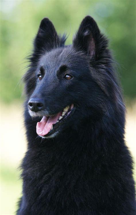 shepherd breeds 25 best ideas about belgian shepherd on black dogs belgian and