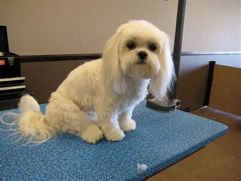 Haircuts For Long Hair Dogs | dog hair cuts dog hairstyle