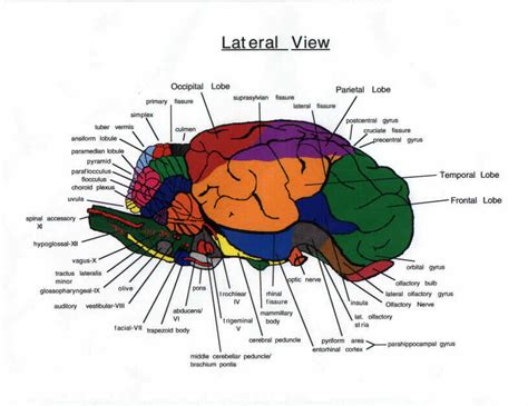 sheep brain diagram search results for sheep brain diagram calendar 2015