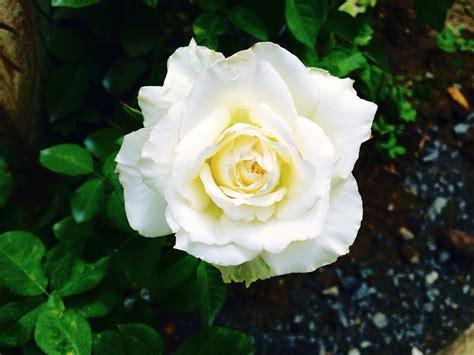 libro rosa blanca rose blanche photo gratuite rose fleurs rose blanche image gratuite sur pixabay 937624
