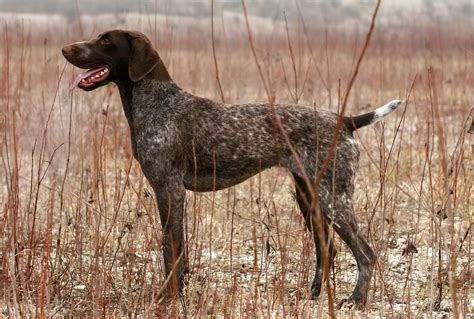 German Shorthaired Pointer Shedding by Best Dogs Top Breeds For Every Type Of Animal