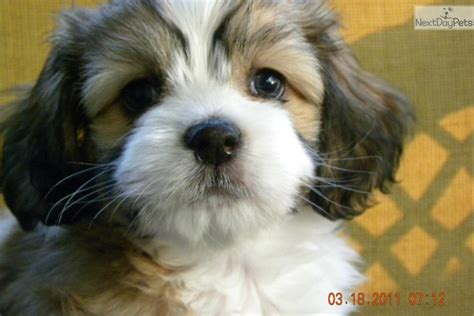cavanese puppies cavanese puppy for sale near boone carolina 92ac99db 4531