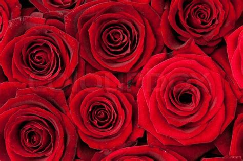 Beautiful red roses, background texture   Stock Photo