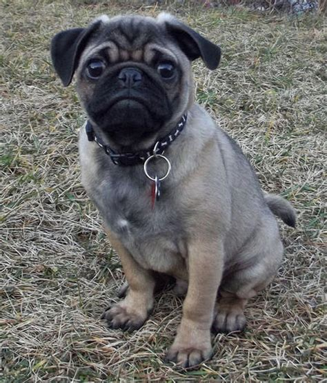 pugsley the pug pugsley the pug puppies daily puppy