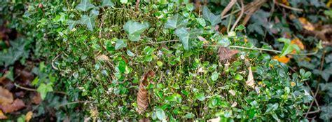 Pilze Im Garten Bekämpfen by Buchsbaum Krankheiten Bek 228 Mpfung Bucbsbaumz Nsler Bek