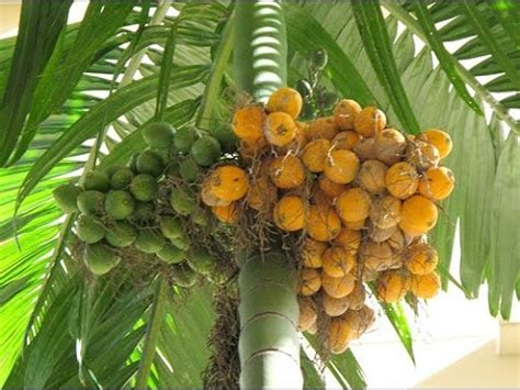 Bibit Kelapa Hibrida Thailand pohon pinang areca catechu
