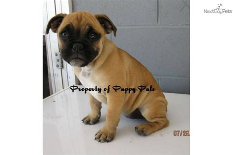 bulldog cross pug meet a pug puppy for sale for 650 pug bulldog cross in ne indiana