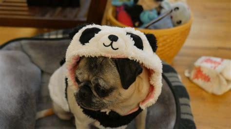 pug panda costume pug panda about pug